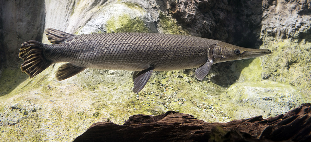 THE BRAZOS' ALLIGATOR GAR