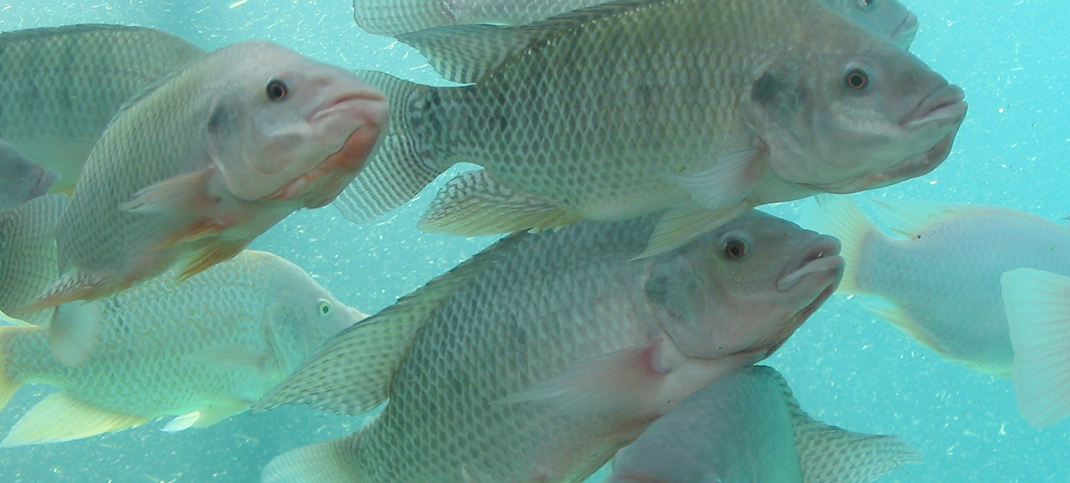 Taming the Troubling Tilapia