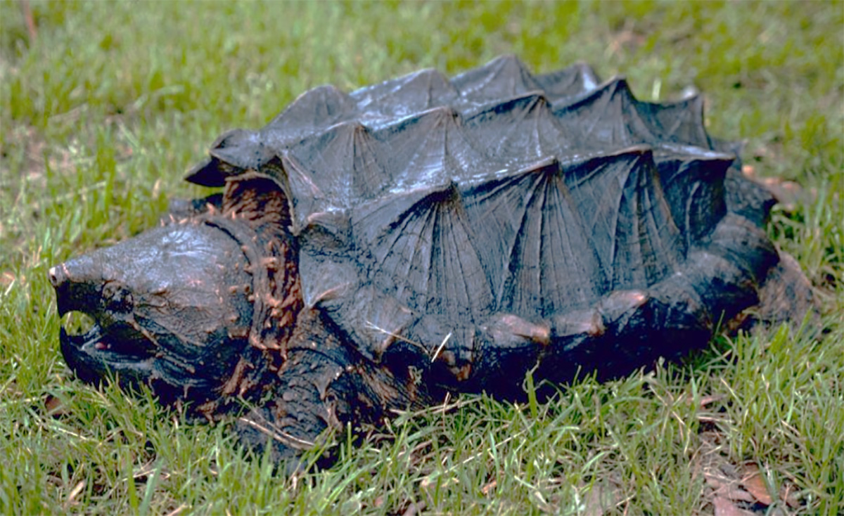 Alligator Snapping Turtle, courtesy of Sabine River Authority