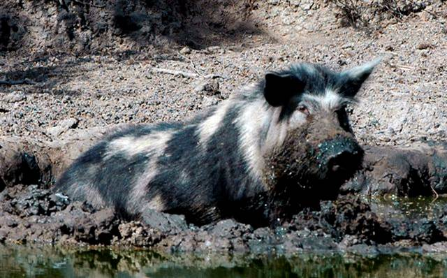 Feral Hog, courtesy of Texas A&M Natural Resources Institute