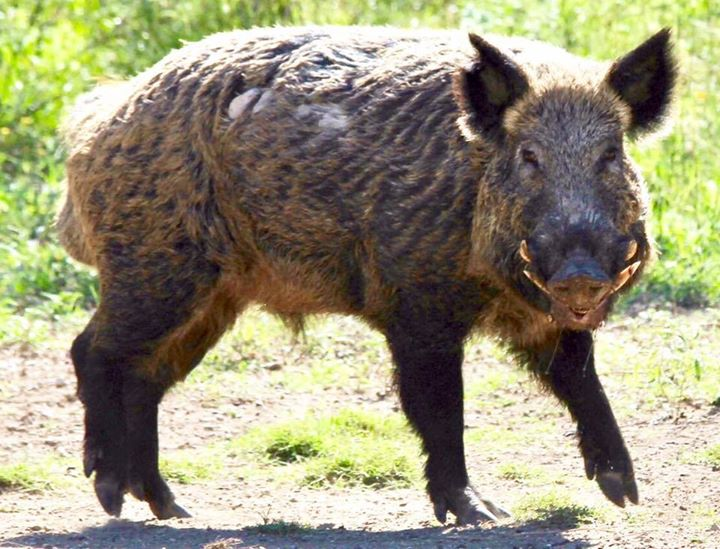 Feral Hog, courtesy of Bobby Walker